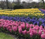 Hyacinthen Keukenhof