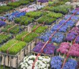 Aalsmeer_bloemenveiling