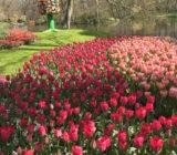 Rode en roze tulpen Keukenhof