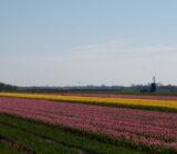 Egmond tulpenveld molen