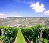 Moezel_wijngaard