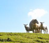 Katwoude schapen