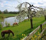 Rivierenland Betuwe Linge bloesem